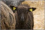 Wensleydale Longwool lamb (dark)