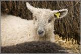 Wensleydale Longwool lamb (white)