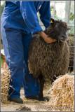 Shaving sheep