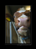 cow details