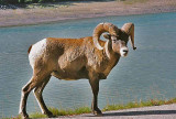 Jasper National Park, Alberta - Wildlife
