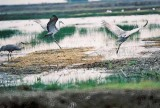 mating dance...sandhill cranes
