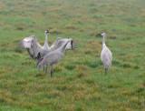 The Courtship Dance of the Sandhill Crane