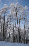 Trees Frosty.jpg