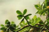 Jade Plant.jpg