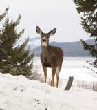 Mule deer8.JPG
