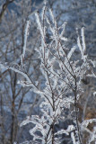 Winter frosted branches.JPG