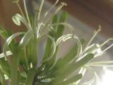 MotherInLaw Flower.jpg
