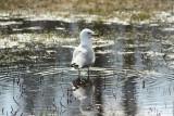 Sea Gull.jpg