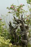 Wild Roses  Driftwood.jpg
