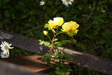 YellowRose4.jpg