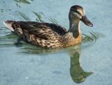 Mum Duck.jpg