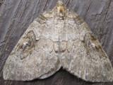 Moth3.jpg