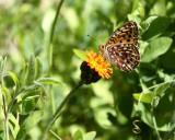Hawkweed Butterfly2.jpg