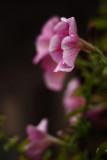 Damp Petunia.jpg
