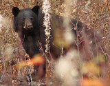 Fall Bear.jpg