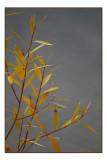 Fall Willow.jpg