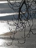 Branches  Ice.jpg