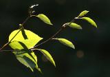 Sunlit Birch.jpg