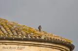 rapaci_diurni_falconiformes