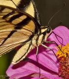 Swallowtail Closeup