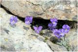555 Viola calcarata