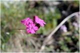 405 Dianthus carthusianorum