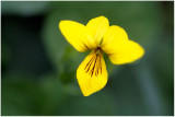 554 Viola biflora