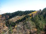 Golden aspen in the distance