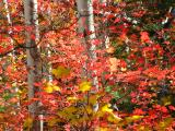 Bigtooth Maple with red Autumn foliage
