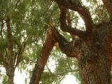 Close-up of Broken Limb in Pine Tree