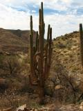 Giant Saguaro Damaged By Fire And Still Alive