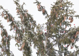 WHITE-WINGED CROSSBILLS - 18, best view in Original size