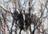 BALD EAGLE NEST at  500mm + 2.0 Ext  + 1.4 Ext.