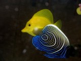 Young Empeeror  + Butterfly Fish