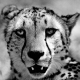 Africa in Black and White -  Cheetah Portrait