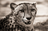 Africa in Black and White - Cheetah Portrait Interpretation 297