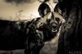 Africa in Black and White -Wild Dog 29
