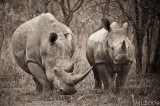 Africa in Black and White - Rhino 77