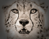 Africa in Black and White - Cheetah Portrait Interpretation 195