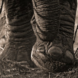 Africa in Black and White -Big foot