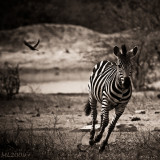 Africa in Black and White -Zebra run