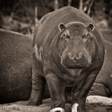 Africa in Black and White -Hyppo saw you .... time to run !!