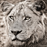 Africa in Black and White - Lionne