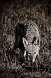 Africa in Black and White - Jackal