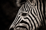 Africa in Black and White -  Zebra close up