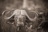 Africa in Black and White -Buffalo straight in the eyes