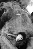 Mother and Baby (0215) Baboon