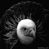 Feathers Vulture