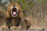 One tooth less for King Lion
